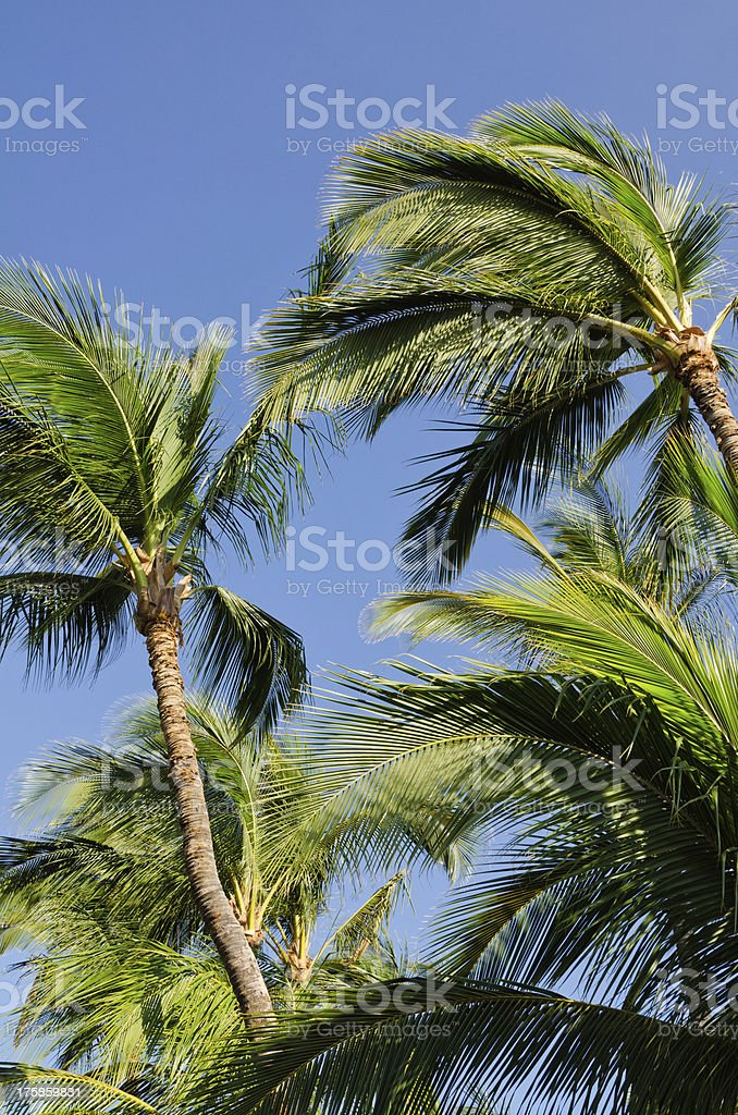 Palm trees swaying in the breeze against a blue sky stock photo