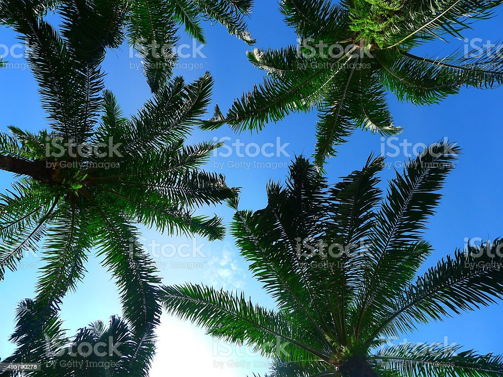 Palm trees with blue sky stock photo