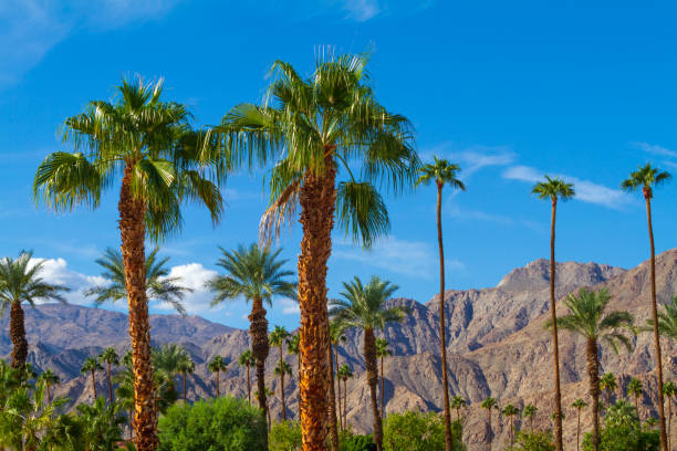 Palm trees with mountain range background in La Quinta, California in the Coachella Valley, stock photo