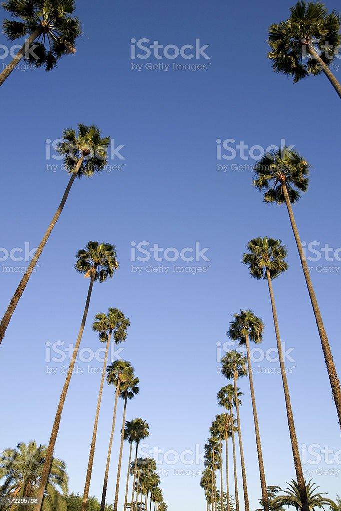 Palm Trees,Los Angeles,Ca stock photo