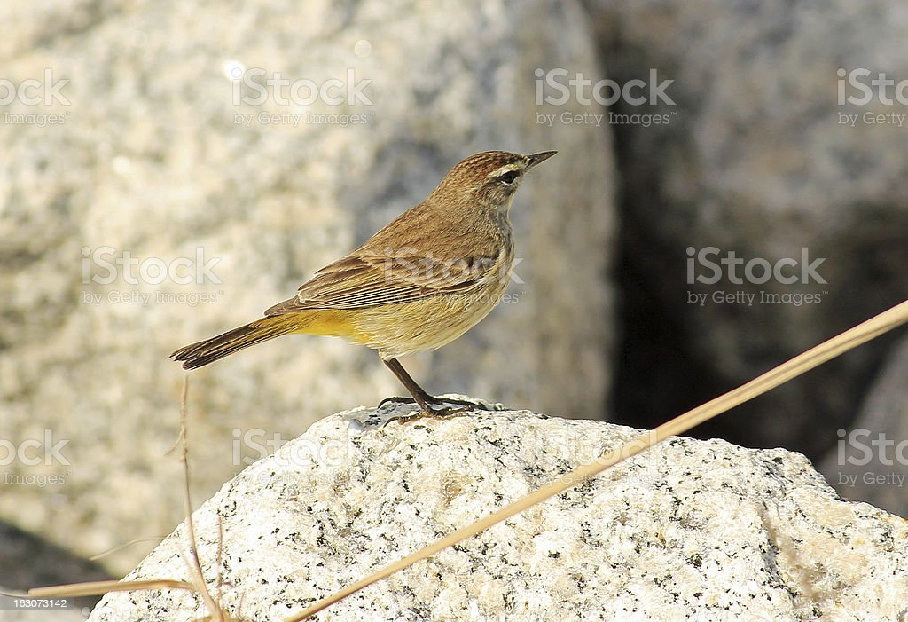 Palm Warbler (Setophaga palmarum) royalty-free stock photo