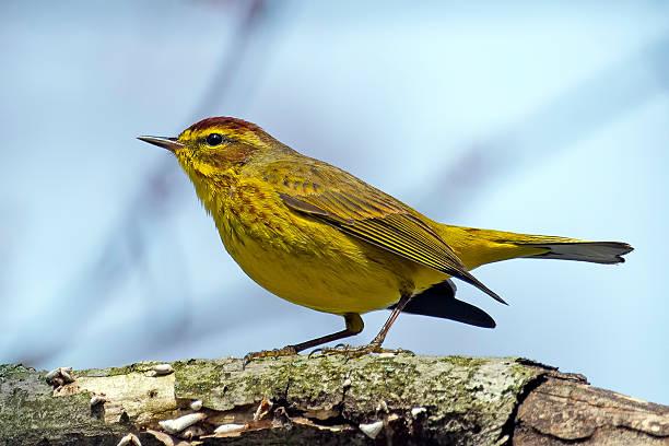 palm warbler - amerikaanse zangers stockfoto's en -beelden