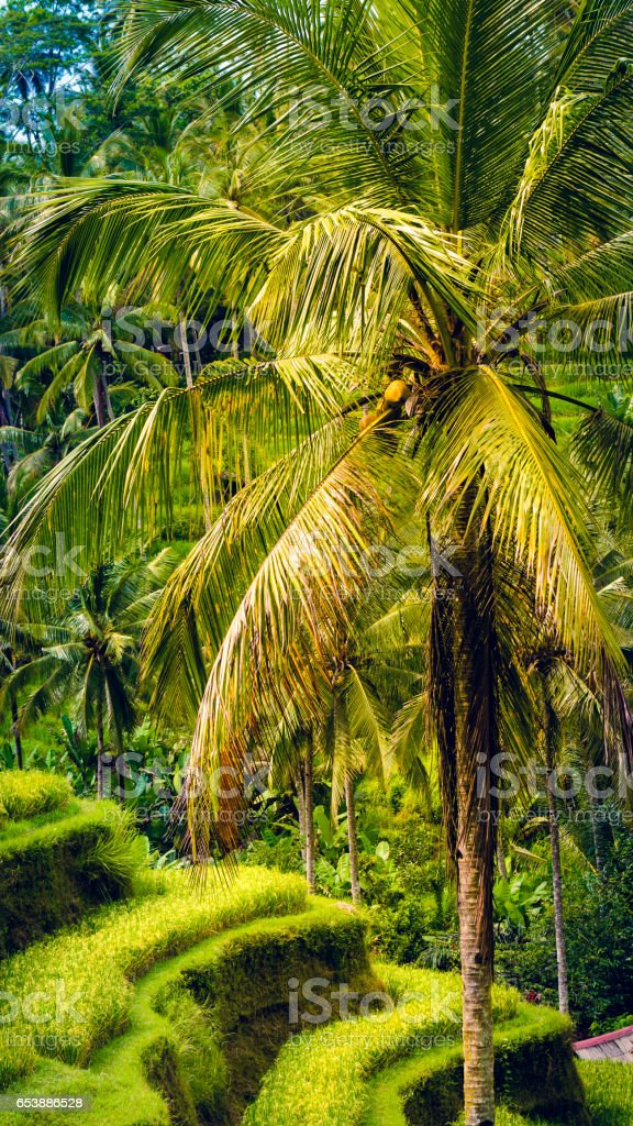 Palm with Big Branches in Amazing Tegalalang Rice Terrace, Ubud, Bali, Indonesia. stock photo