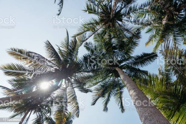Photo of Palma. The trunks of palm trees. Tall palm trees