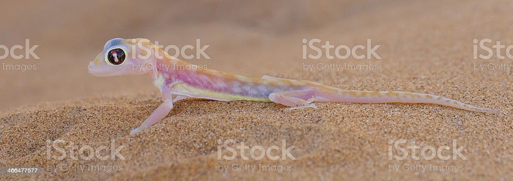 Palmatogecko (Pachydactylus rangei), also known as Web-footed Ge stock photo