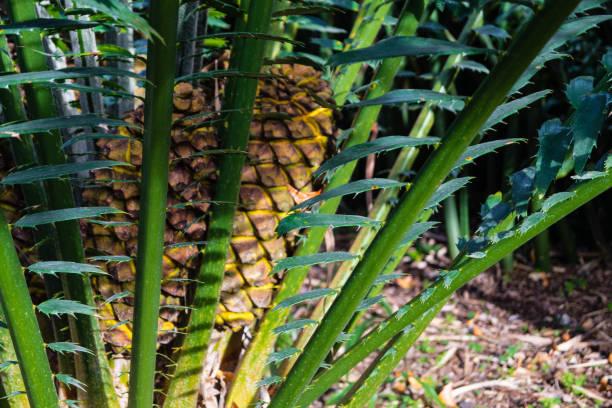 palmenfarn encephalartos kisambo - palmwedel stock-fotos und bilder