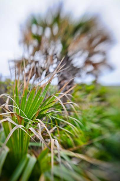 palmetto und palmbaum - palmwedel stock-fotos und bilder