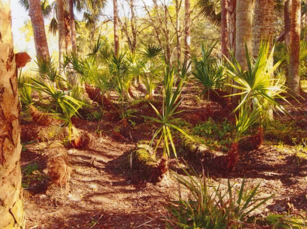 palmetto büsche in florida hinterhof - palmwedel stock-fotos und bilder
