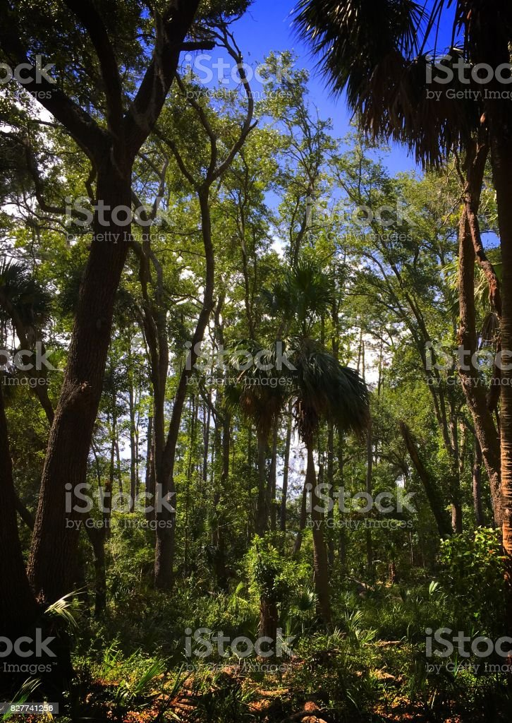 Palmetto Forest at Pinckney Island National Wildlife Refuge stock photo
