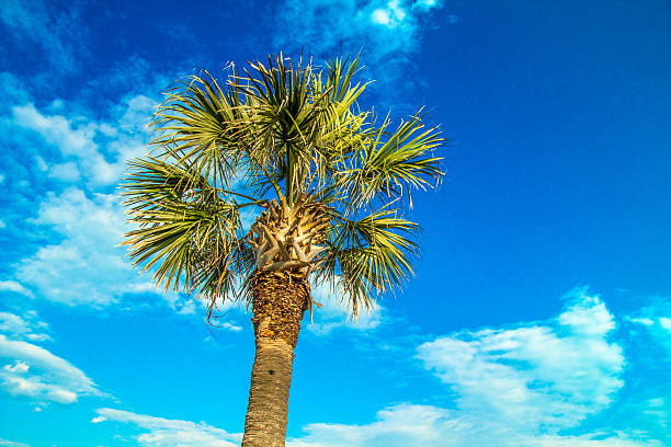 Palmetto Tree And Blue Sky stock photo