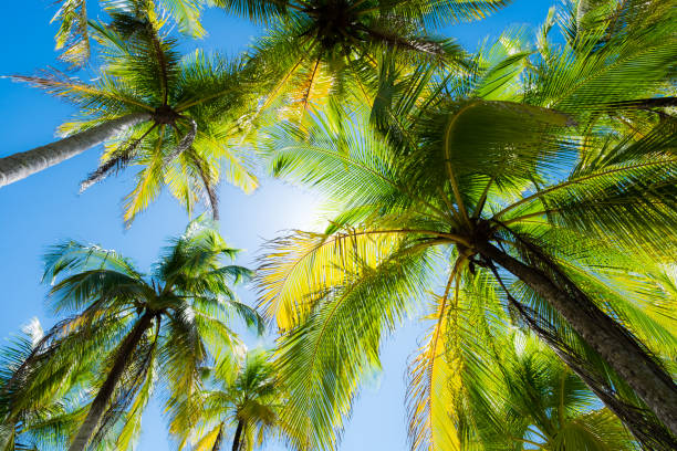 Palms against the sky. Palms at the beach in Puerto Carrillo, Costa Rica in opposite light. Puerto Carrillo is a small village at the Pacific Coast on the Peninsula Nicoya. nicoya peninsula stock pictures, royalty-free photos & images