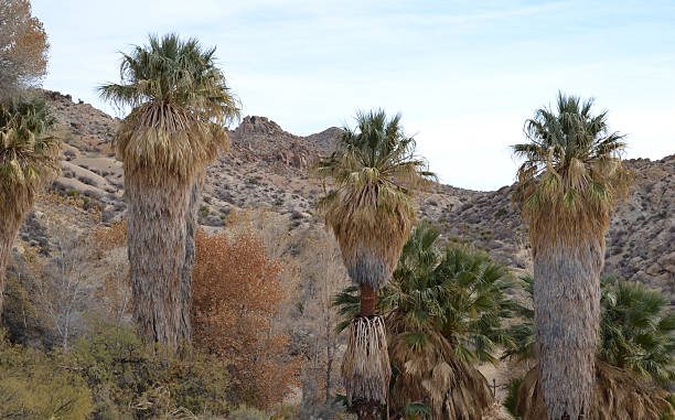 palms at cottonwood spring stock photo