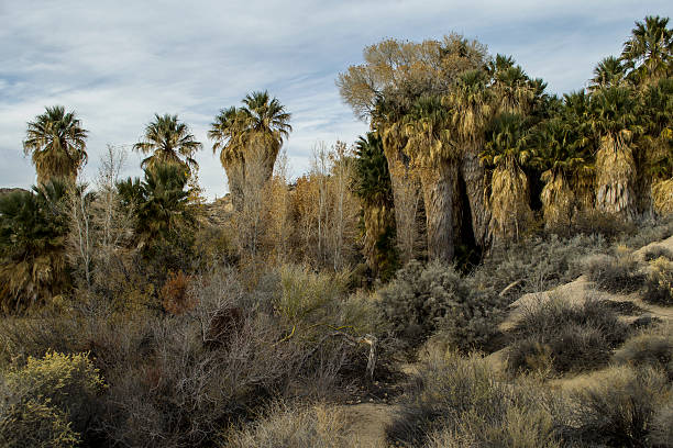 Palms at Joshua Tree stock photo