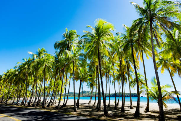 Palms at the beach. Palms at the beach in Puerto Carrillo, Costa Rica in opposite light. Puerto Carrillo is a small village at the Pacific Coast on the Peninsula Nicoya. nicoya peninsula stock pictures, royalty-free photos & images