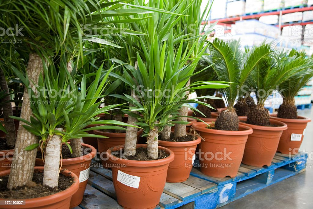 Palms in pots royalty-free stock photo
