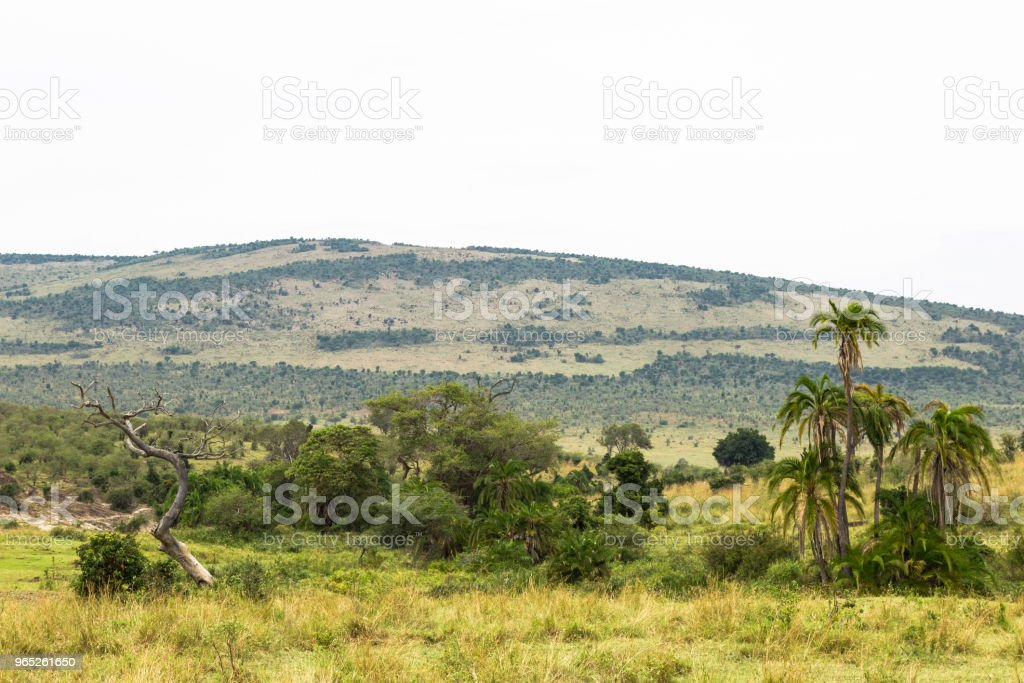 Palms in the background of the hills of Masai Mara. Africa royalty-free stock photo