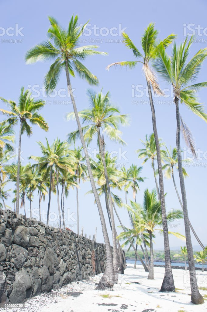 Palms line rock wall at the refuge at Pu'uhonua o Honaunau National Historical Park stock photo