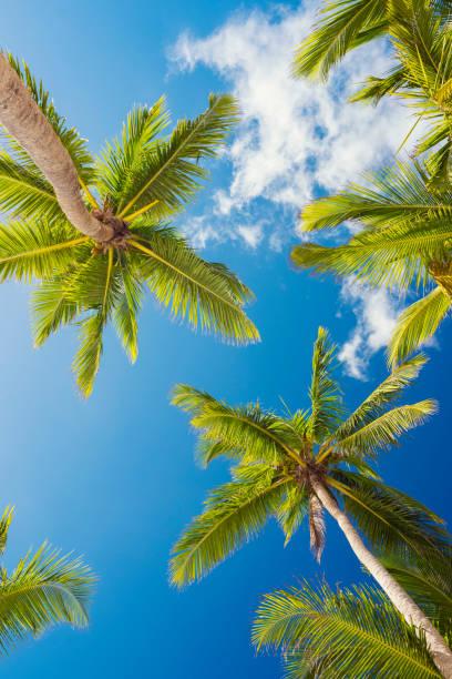 Palmen der Dominikanischen Republik – Foto