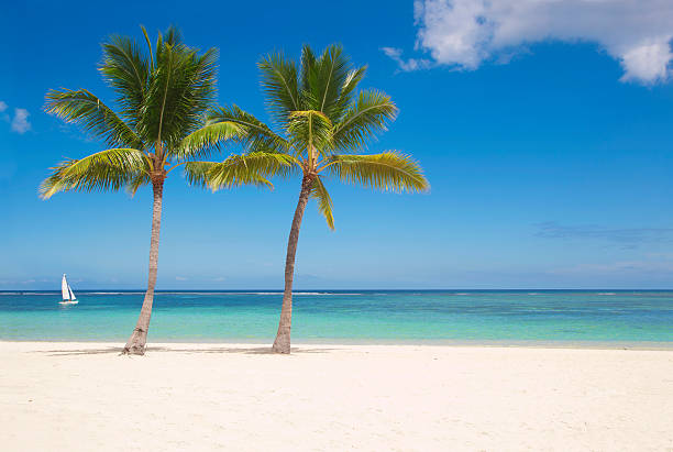 palms on 마스카린 - 야자 나무 arecales 뉴스 사진 이미지