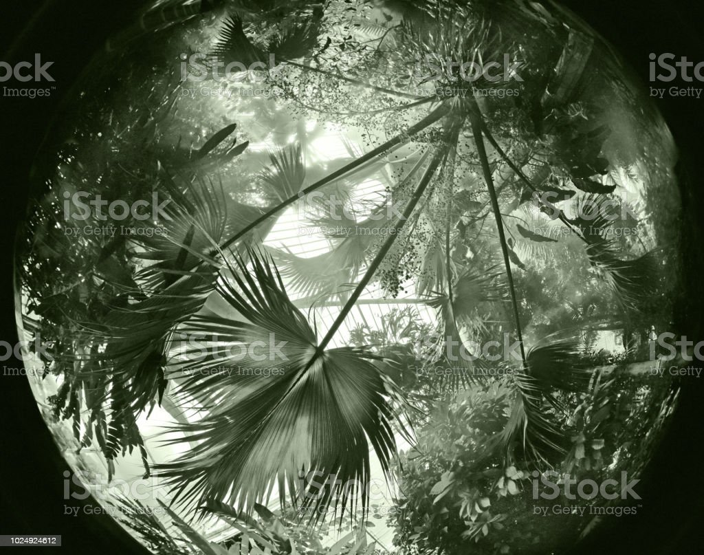Palms Monochrome fish eye abstract wide angle of tropical Palm trees and plants growing intertwined  in a Victorian (19th Century) greenhouse at Kew, London Ark Stock Photo