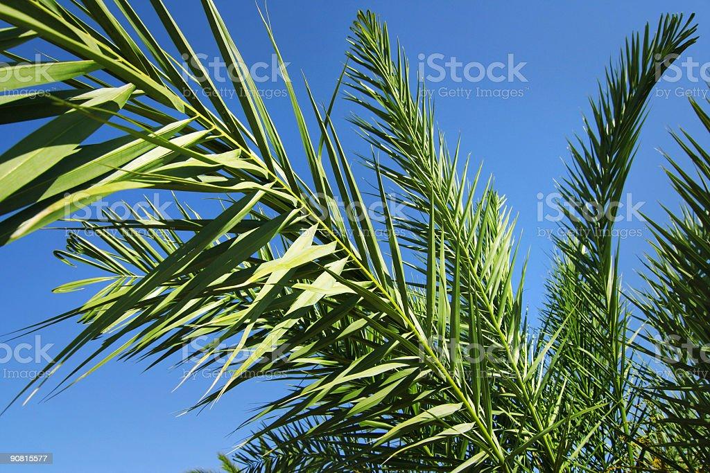 Palms royalty-free stock photo