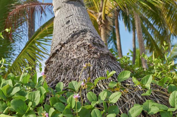 Palm's roots on San Blas uninhabited island stock photo