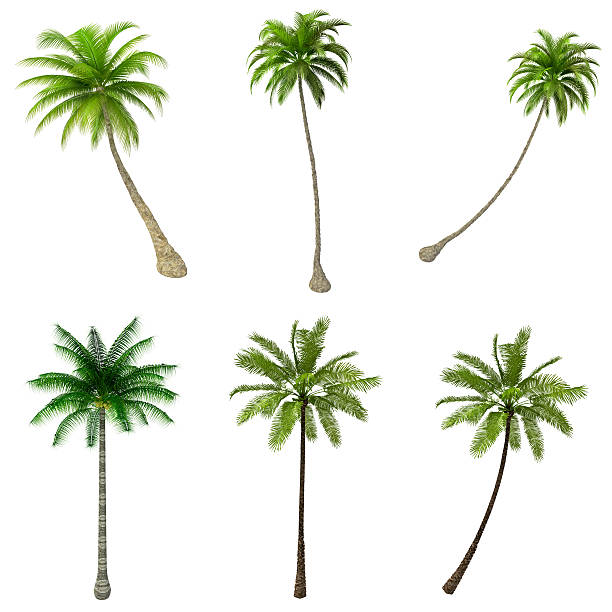 Palms Trees COLLECTION / SET on Pure White Background (72MPx-XXXL) stock photo