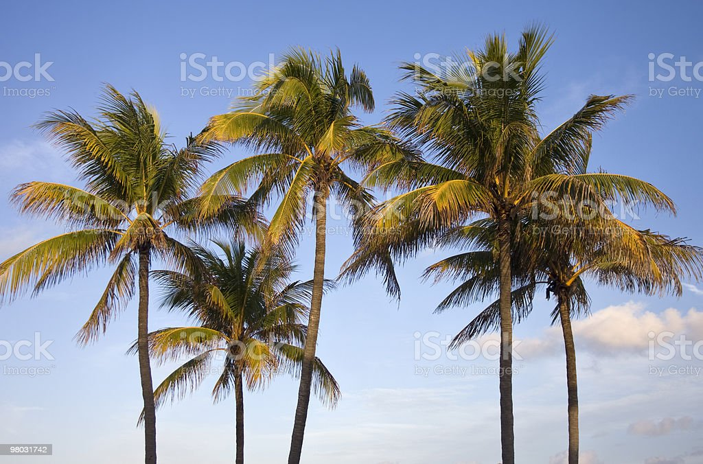 Palms trees in late afternoon, Miami Beach royalty-free stock photo