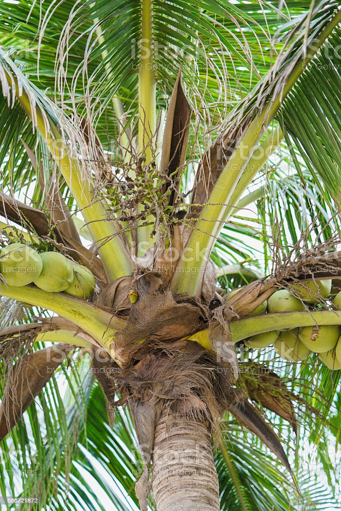 Palms with coconuts at China Beach in Danang in Vietnam stock photo