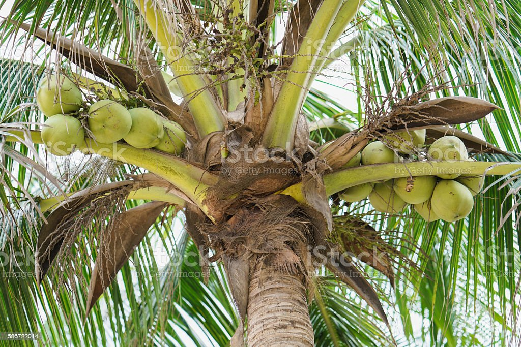 Palms with coconuts on China Beach in Danang in Vietnam stock photo