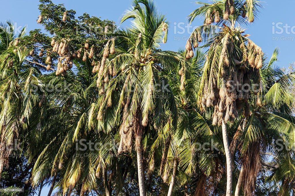 palms mit nest der Vögel  Lizenzfreies stock-foto