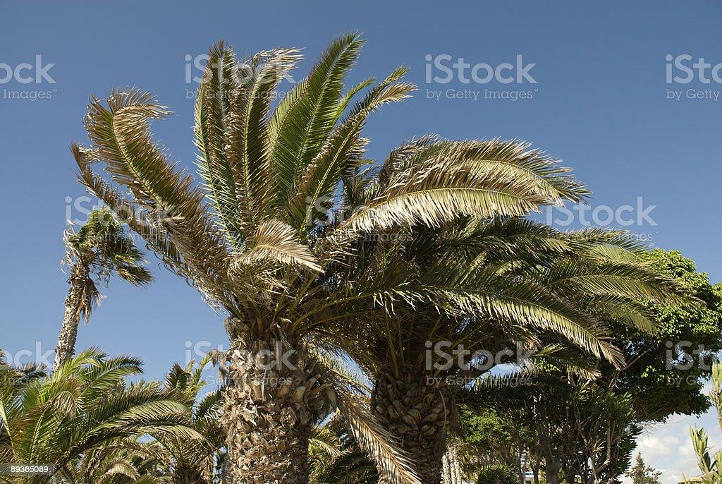 Palmtrees in Cyprus royalty-free stock photo