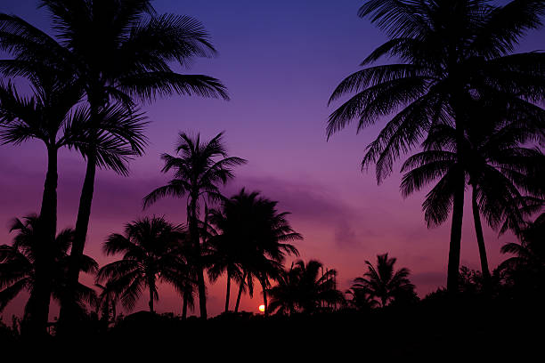 palmtrees  silhouette on sunrise in tropic stock photo