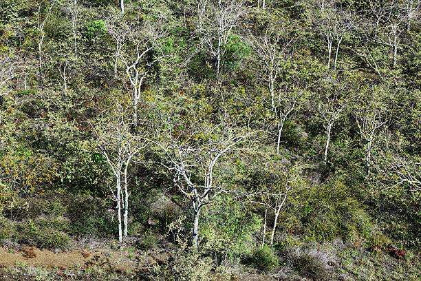 Palo Santo Trees on Isabela Island stock photo