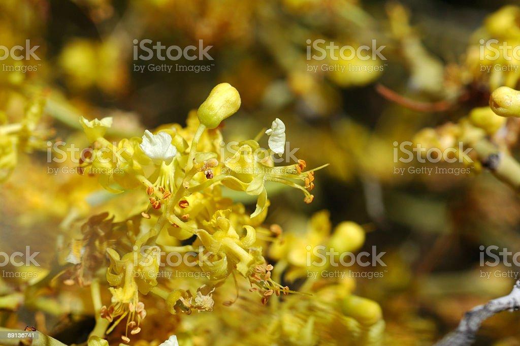 palo verde flowers, Cercidium peninsulare royalty-free stock photo