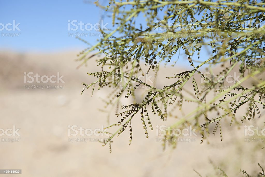 Palo Verde Tree in Sonoran Desert royalty-free stock photo