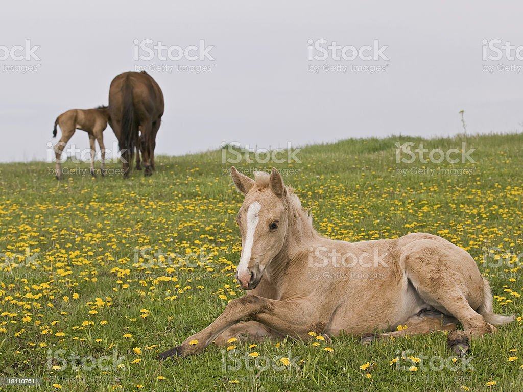 Palomino Foal In Field Of Yellow Flowers Stock Photo More Pictures
