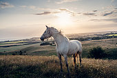 Four year old Palomino horse at sunset. Photographed in the late evening light in the island of Møn in Denmark  as the sun sets behind her. She is standing proudly amongst the grass watching world go by. Colour horizontal with lots of copy space.