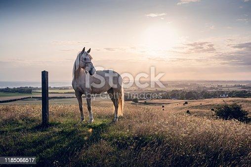 istock Palomino horse at sunset 1185066517