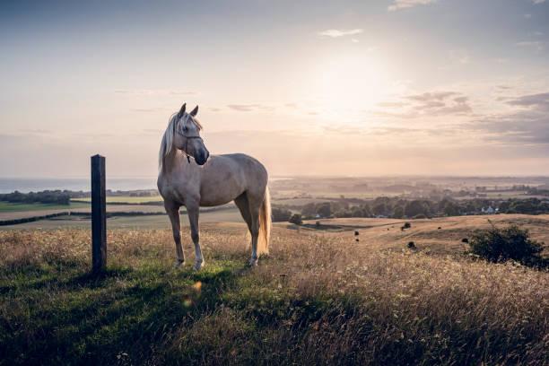 cheval de palomino au coucher du soleil - cheval photos et images de collection