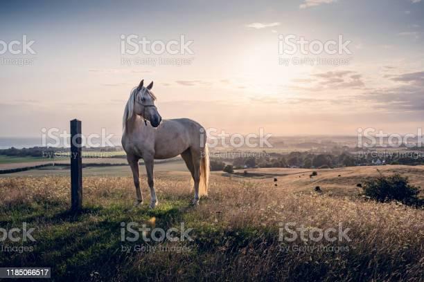Photo of Palomino horse at sunset