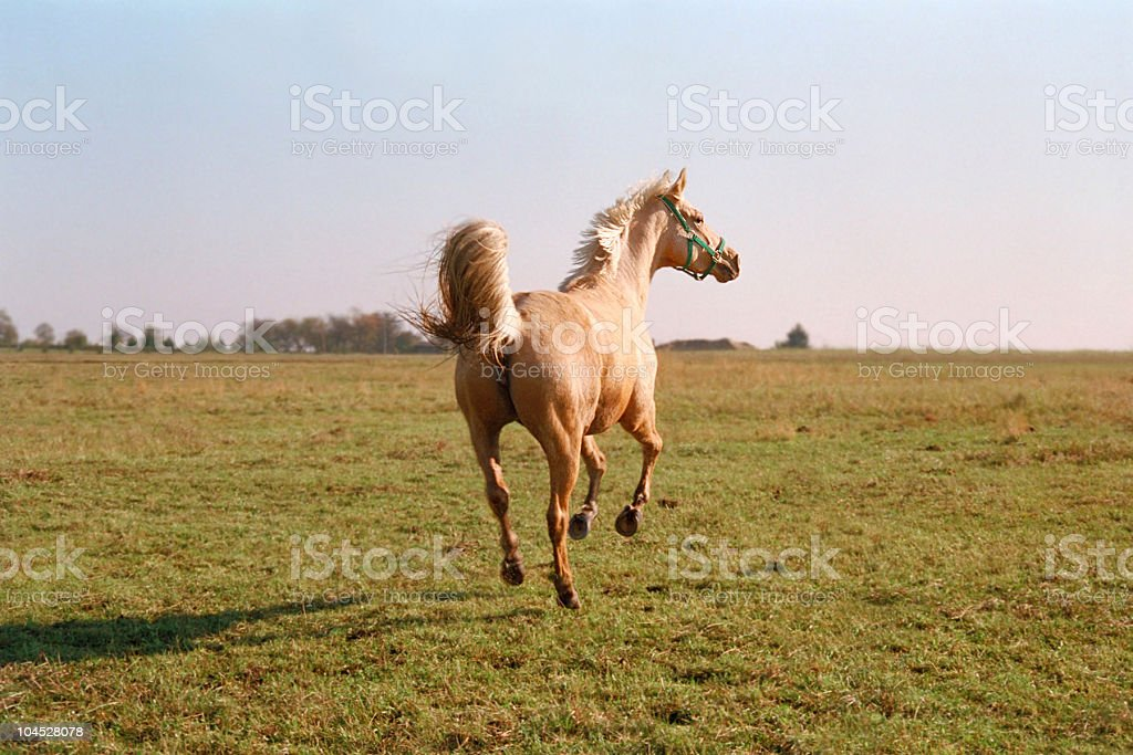 Palomino horse galloping in evening stock photo