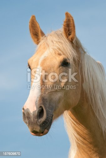 Palomino horse head shot portrait with wind blowing through long mane hair and forelock, livestock Pennsylvania, PA, USA.