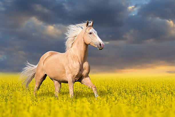 Palomino horse in flowers Palomino horse with long blond male on colza field palomino stock pictures, royalty-free photos & images
