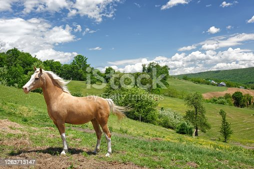 Palomino horse standing in side view in his summer pasture made on rolling green hills.