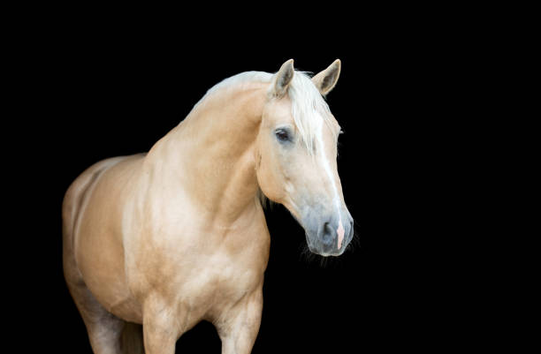 Palomino horse on black background. Portrait of a Palomino horse isolated on black background. palomino stock pictures, royalty-free photos & images