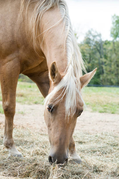 Palomino horse Low angle view of a Palomino horse with blond mane eating hay on a farm in Kentucky, Midwest, USA palomino stock pictures, royalty-free photos & images