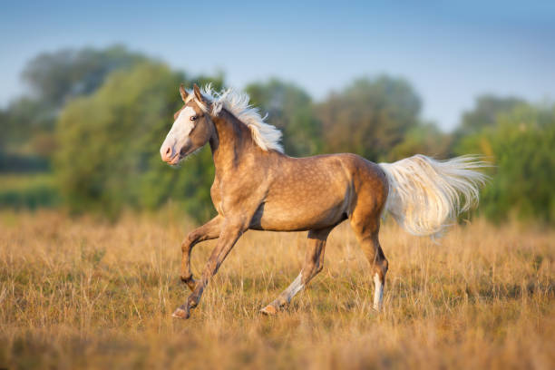 Palomino horse run on meadow Cream horse run gallop palomino stock pictures, royalty-free photos & images
