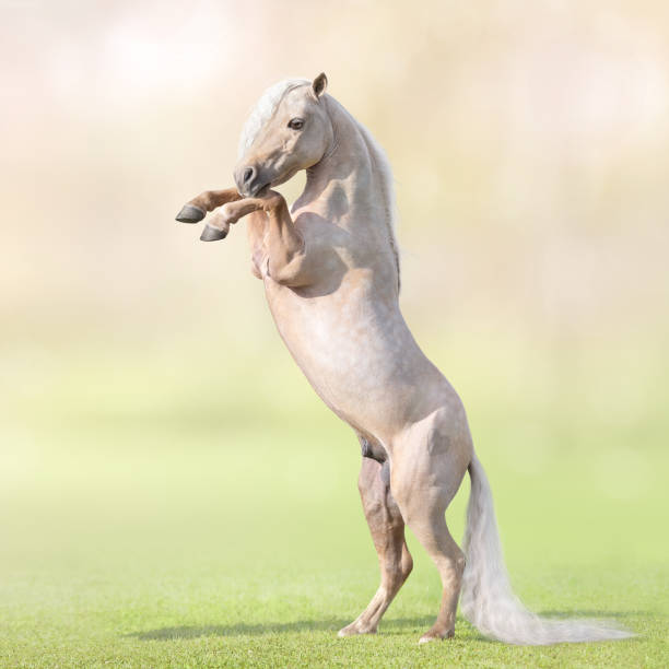 Palomino Miniature Horse with long white tail rearing on grass. Palomino American Miniature Horse with long white tail rearing on grass. palomino stock pictures, royalty-free photos & images