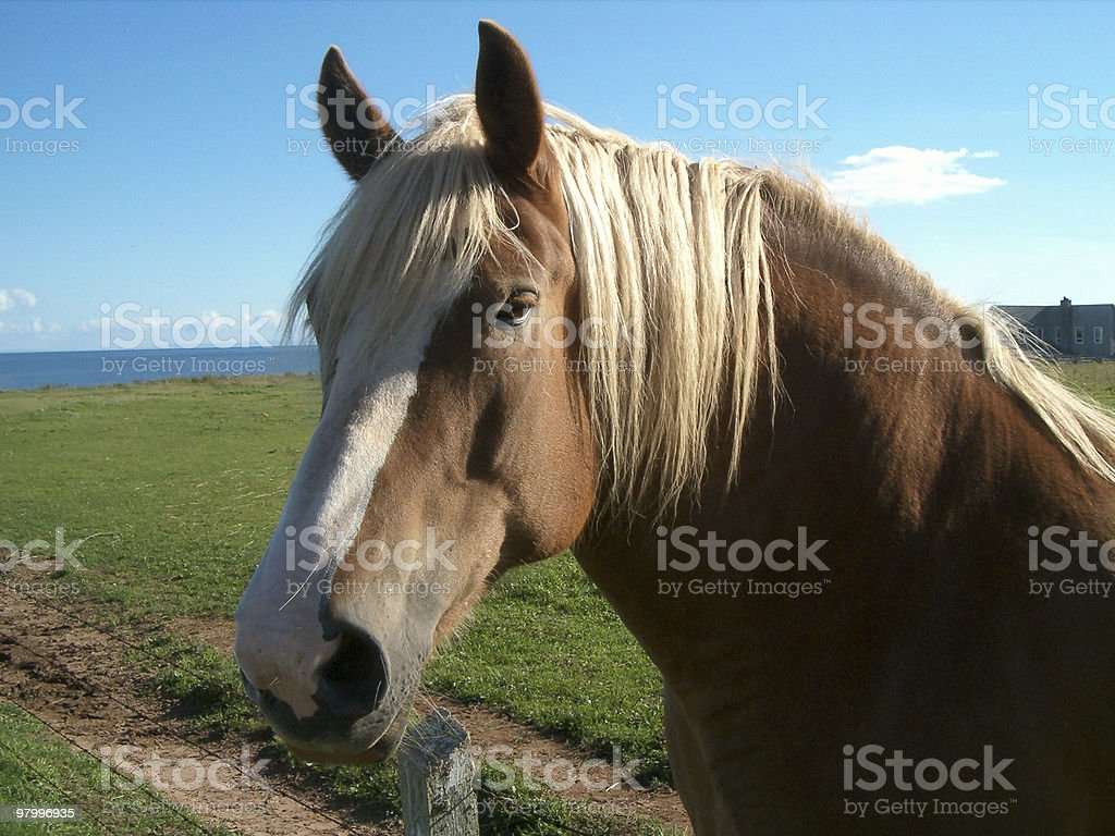 palomino royalty-free stock photo